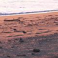 砂浜×小鳥