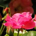 写真: 薔 薇