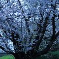 Photos: 崖の上の桜