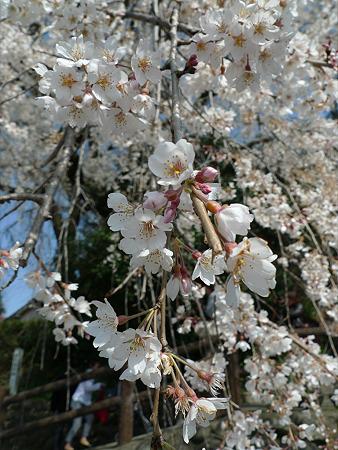 大原大しだれ桜(4)