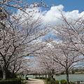 駕与丁公園の桜(1)