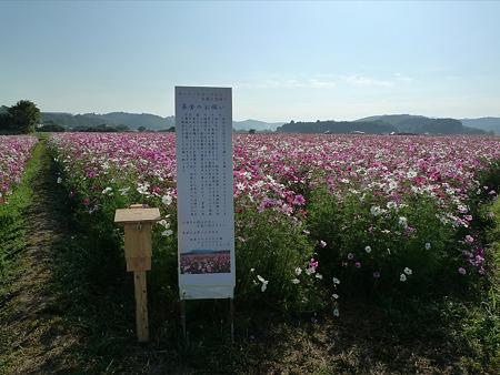 三光コスモス園(13)