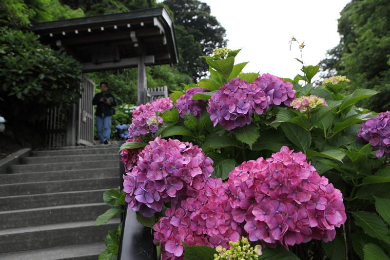 IMG_7082鎌倉_成就院・長谷寺のアジサイ