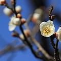 Photos: 青空と白梅(白加賀)