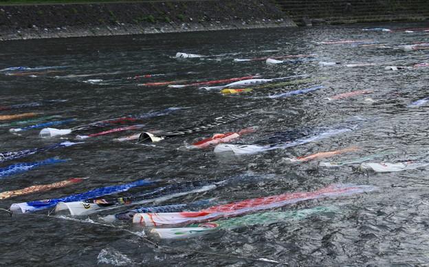 Photos: 浅野川を泳ぐ鯉のぼり(2)
