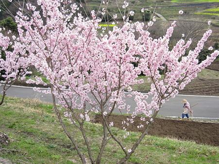 篠窪の菜の花(5)