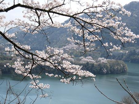 津久井湖の桜(2)