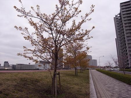 南千住 汐入公園の桜 2010-3-28 09