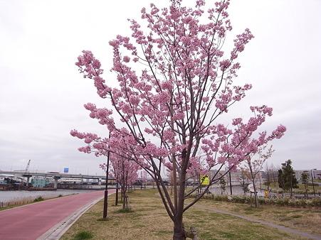 南千住 汐入公園の桜 2010-3-28 19
