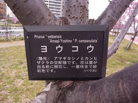 南千住 汐入公園の桜 2010-3-28 29