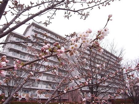 南千住 けやき通りの桜 2010-3-28 38