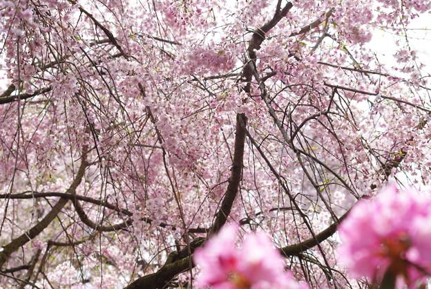 写真: 桜色の時