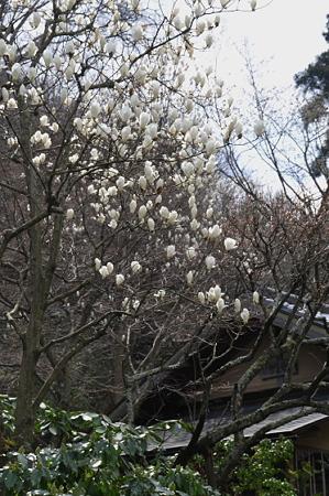 東慶寺の白木蓮 01