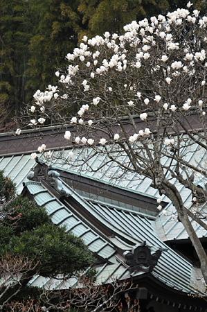 東慶寺の白木蓮 02