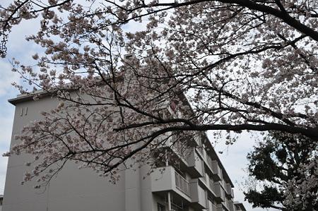 桜 2010 前田町公園 03