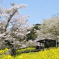 写真: 小湊鉄道の桜 2010 06
