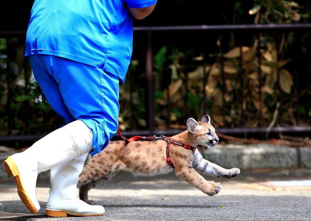 すご~い!ピューマの赤ちゃんと散歩って