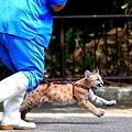 Photos: すご~い!ピューマの赤ちゃんと散歩って