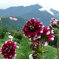 Photos: 山とダリア
